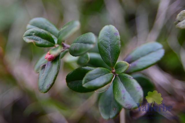 Vaccinium-vitis-idaea1